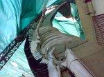 skeleton of Asia's biggest 75-feet blue whale @ Hill Garden - Bhuj